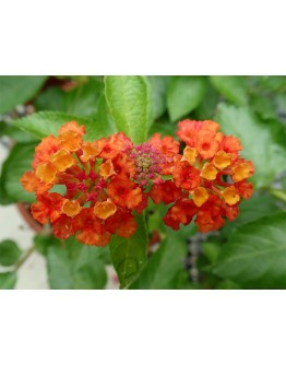 Lantana Small Pot No. 5