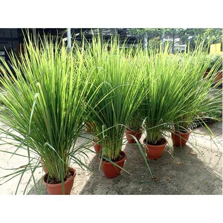 Lemongrass 香茅草