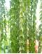 Lycopodium Huperzia geobelii Green