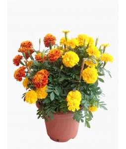 Marigold 万寿菊