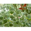 Million Heart Dischidia ruscifolia Variegata