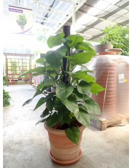 Money Plant Tall with Coco Support Pole