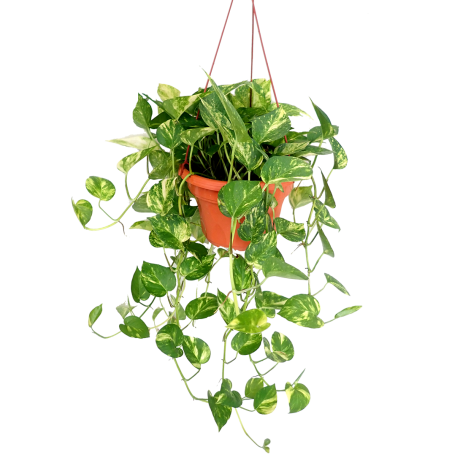 Money Plant Variegated Hanging