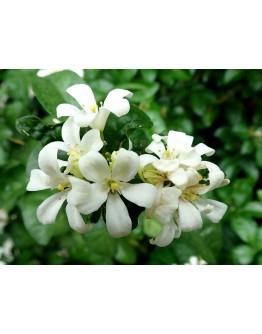Murraya Paniculata (Polybag) 七里香 1m