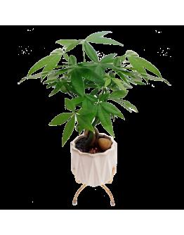 Pachira White Ceramic Pot with Elegant Stand 发财树