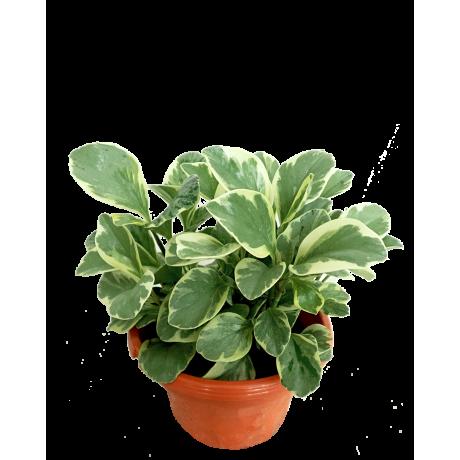 Peperomia Obtusifolia Varigeted