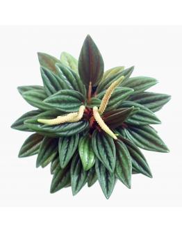 Peperomia Caperata 'Rosso' Green