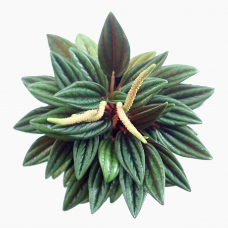 Peperomia Rosso Red