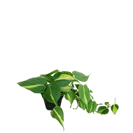 Philodendron Scanden Variegated