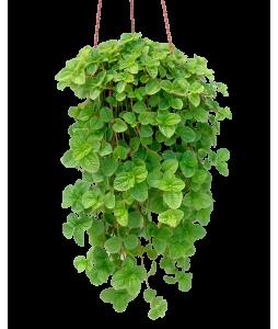 Pilea nummulariifolia Hanging