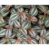 Pilea spruceana 'Norfolk'