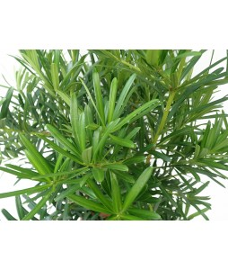 Podocarpus Pine Tall (3 in 1) 3 - 4ft 罗汉松