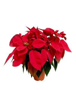 Poinsettia - Christmas Flower 圣诞红