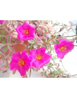 Portulaca Variegated Pink Hanging
