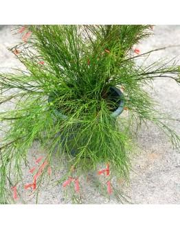 Russelia Red Firecracker Plants