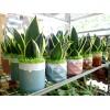 Sansevieria Lotus with Ceramic Pot