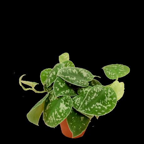 Scindapsus pictus 'Argyraeus' 星点藤