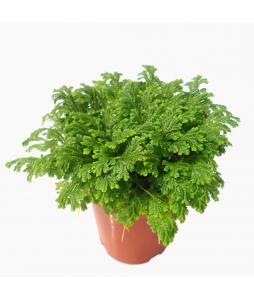 Selaginella 'Jori' Green