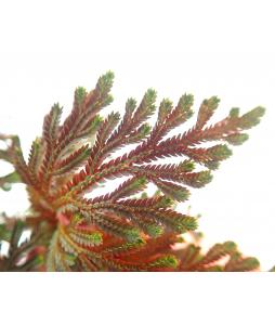 Selaginella Ruby Red Spikemoss