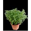 Stevia Plant - Sweet leaf