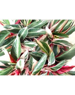 Calathea Stromanthe Tricolor