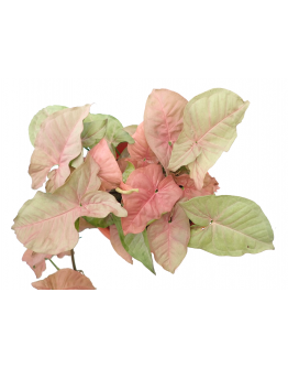 Syngonium Pink Allusion