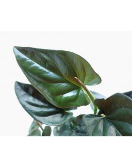 Syngonium Erythrophyllum 'Red Arrow' (Dark Foliage)