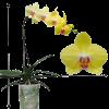 Phalaenopsis Orchid (Single Stalk) - Mini