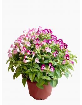 Torenia fournieri 夏堇