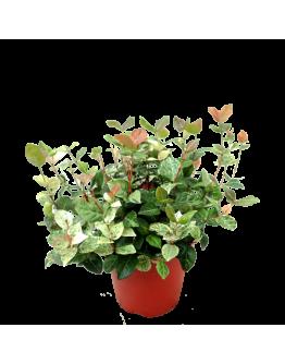 Trachelospermum Jasminoides 花叶络石 White-Red