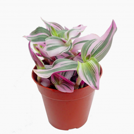 Tradescantia 'Nanouk' Purple