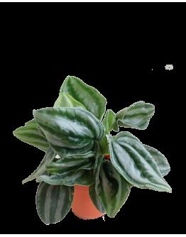 Peperomia Watermelon Argyreia