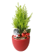 Cupressus Goldcrest Christmas Plant Decor (Red Colour Pot)