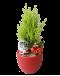 Cupressus Goldcrest Christmas Plant Decor (Red Colour Pot)