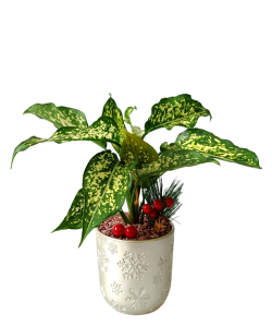 Aglaonema Snow White Christmas Plant Decor (Silver Colour Pot)