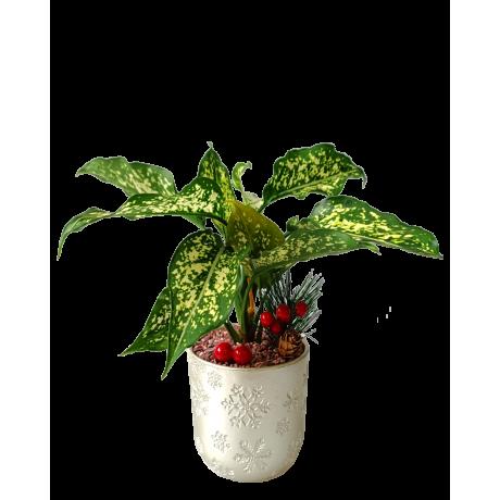 Aglaonema Snow White Christmas Plant Decor (Silver Colour Pot)
