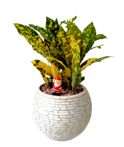 Croton Gold Christmas Plant Decor (White Colour Pot)