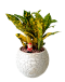 Croton Gold Christmas Plant Decor (White Colour Pot)