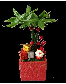 Pachira Braided Christmas Plant Decor (Red Colour Pot)