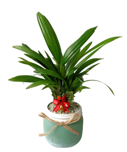 Lady Palm (Turquoise Colour Pot)