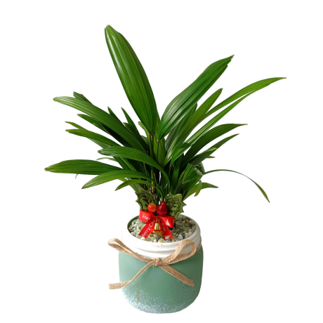 Lady Palm Christmas Plant Decor (Turquoise Colour Pot)