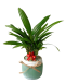 Lady Palm Christmas Plant Decor (Turquoise Colour Pot)