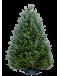 Fraser Fir Christmas Trees - Premium Grade