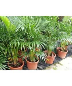 Areca Palm Yellow Palm 3-4ft
