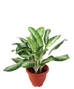 Aglaonema Queen of Siam