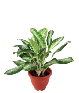 Aglaonema 'Queen of Siam'