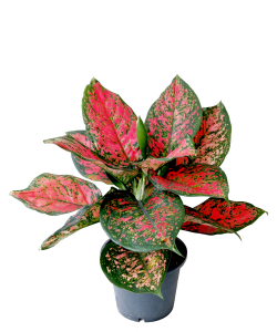 Aglaonema Hybrid Red / Pink