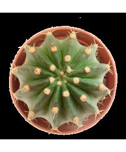 Echinopsis C005 - Medium