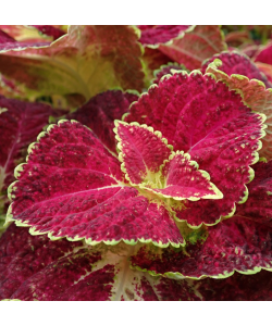 Coleus, Painted Nettle P220