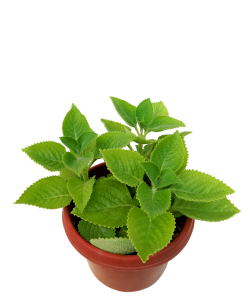 Indian Borage Mexican Mint